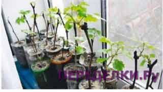 Окореняем черенки винограда