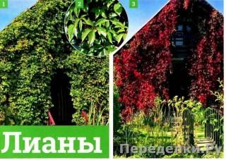 45 Лианы для вертикального озеленения_cr