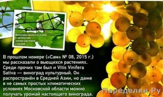 49 Виноград в средней полосе_cr
