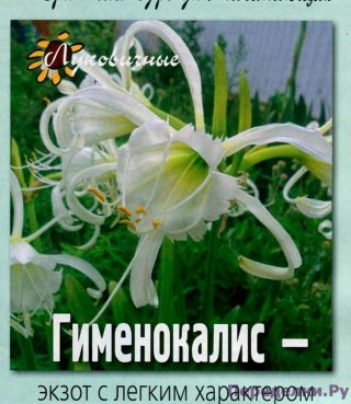 Гименокалис