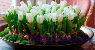 Как вырастить тюльпаны к Новому году дома