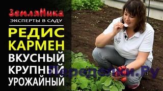 Редис Кармен. Супер урожайный