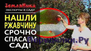 Ржавчина на груше. Как лечить болезни плодовых деревьев