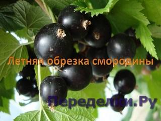 СМОРОДИНА. Летняя обрезка смородины