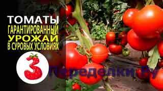 ТОМАТЫ гарантированный урожай в неблагоприятных условиях