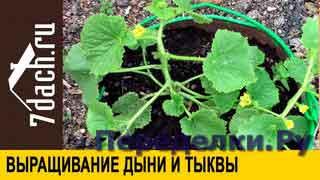 Выращивание дыни и тыквы