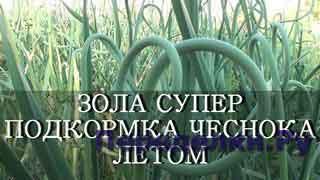 ЗОЛА - СУПЕР ПОДКОРМКА ДЛЯ ЧЕСНОКА ЛЕТОМ