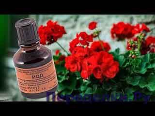 Зачем Герани ЙОД Обильное цветение – гарантировано
